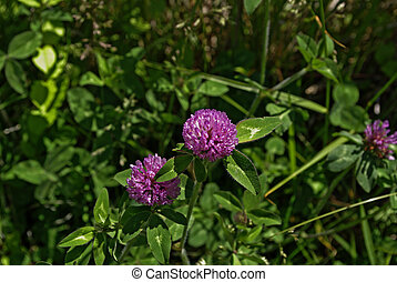 Red Clover - globes of red clover ground cover
