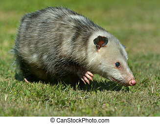 Virginia Opossum is climbing in the grass in Virginia