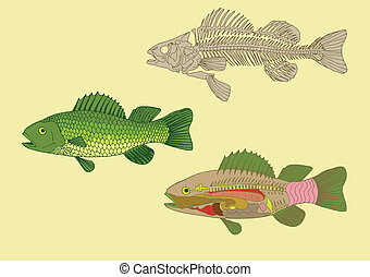 anatomy of fish - zoology, anatomy of fish , cross-section...
