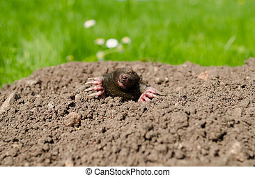 mole snout and claws sticking out of the molehill - mole...