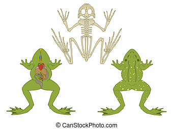 frog - zoology, anatomy of amphibian, cross-section and...