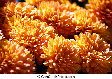 Orange mums - flowers, orange, Colorado, blooming, spring,...