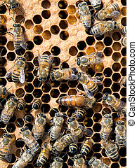 Hive of activity - workers and Queen bee inside the hive. -...