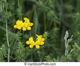 Birdsfoot Trefoil - Yelllow flowers of Birdsfoot Trefoil...