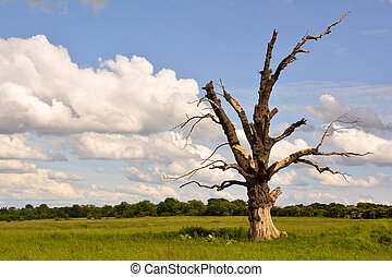 Gnarled Tree - A single, lightning damaged tree in a rural...