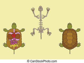 turtle - zoology, anatomy of reptile, cross-section and...