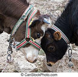 cow calve