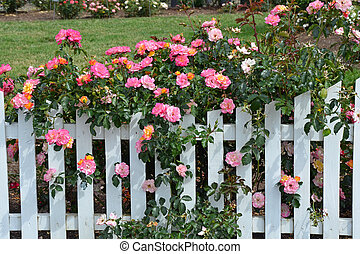 Pink roses and white picket fence - Beautiful pink roses...