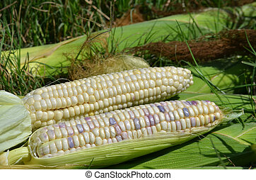 Waxy corn - Fresh and peel waxy corn