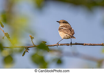 Stonechat - Young stonechat sits on a branch