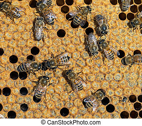 Sealed cells for metamorphosis, inside beehive. One new bee