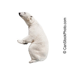 White polar bear. Isolated on white background