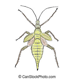 Heteropteryx insect, sketch for your design