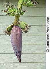 Banana flower blossom with little bananas