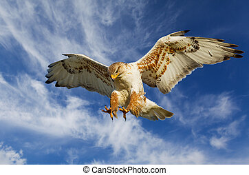 Ferruginous attack - Large Hawk in attack mode with blue sky...