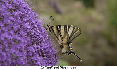Podalirius butterfly, feeding on the purple flowers