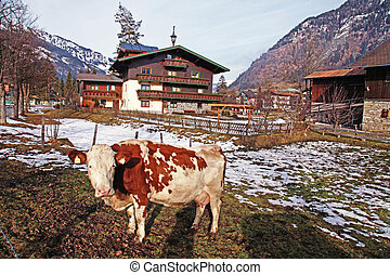 Cow on Alpine farm , Alps mountains, Bad Hofgastain,...