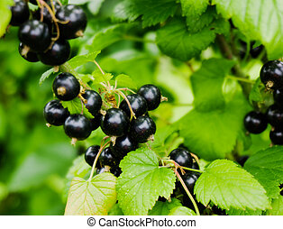 black currant branch. Ripe blackcurrants growing in the bush...