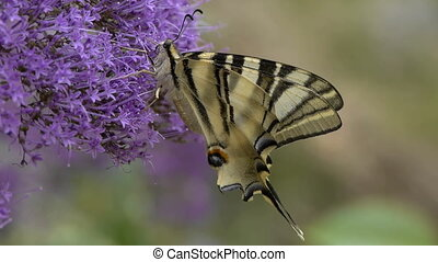 podalirius butterfly - Podalirius butterfly, feeding on the...