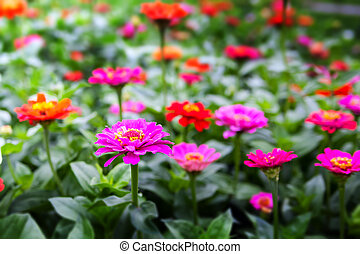 Pink flowers - meadow with colorful flowers with purple...