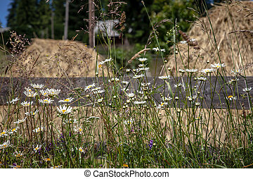 Camomile flowers with hay stacks in background