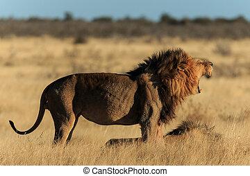 Roaring lion - Lion roaring in Africa