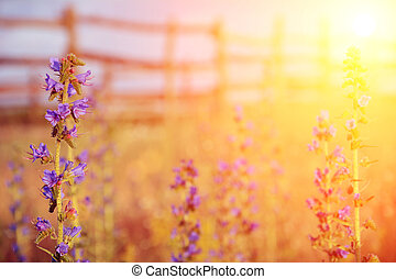 Violet meadow flower with sun rays, floral background