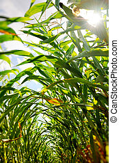 Corn field seen from inside the rows with beautiful sun...