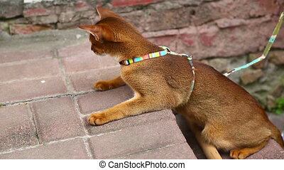 Abyssinian cat - Beautiful abyssinian cat on leash