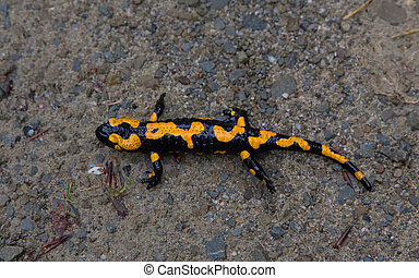 Fire Salamander in rain closeup
