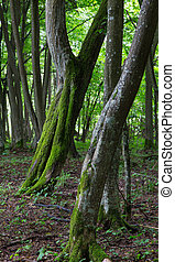 Two twin slanted hornbeam trees in stand - Two twin slanted...