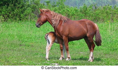 Horse family - Female horse feeding her colt.