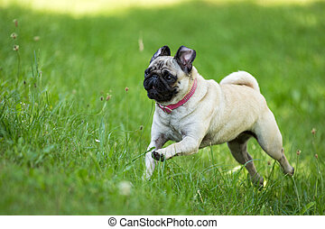 Fortunately Pug - A brown pug running through a green meadow...