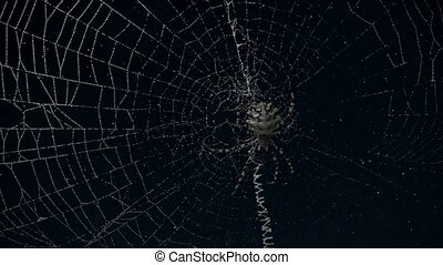 timelapse in Argiope spider web, with stars passing between...
