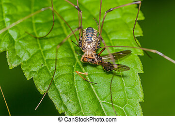 Harvestmen Spider perched on a green leaf with prey.