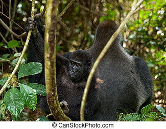 Western Lowland Gorilla adult male - Silverback and cub...
