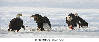 The Bald eagles ( Haliaeetus leucocephalus ) - The four Bald...