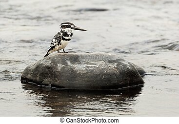 The Pied Kingfisher (Ceryle rudis) sits on a stone in the...