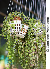 Green creeper plant