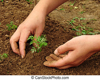 hoeing carrot sprouts - woman hands hoeing carrot sprouts on...