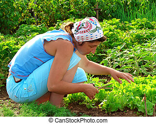 cropping lettuce - woman cropping green lettuce from the...