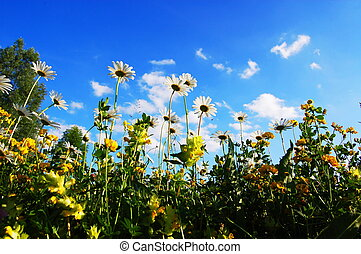 daisy flowers in summer