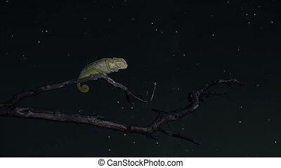 timelapse chameleon sleeping - timelapse with stars...