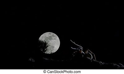 wolf spider with full moon timelapse with moon moving...