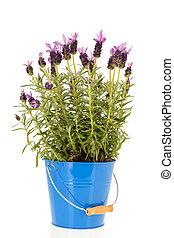 Lavandula Stoechas in blue flower pot
