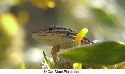 tailed lizard