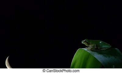 tree frog with waning moon, timelap - tree frog with...