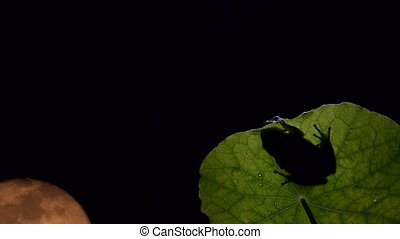 tree frog with timelapse full moon - tree frog with the full...