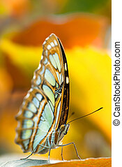 malachite butterfly - Malachite butterfly (lat. Siproeta...