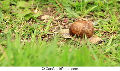 Burgundy snail Helix pomatia in the green grass